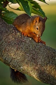 Rotes eichhörnchen, das auf dem baum steht und isst