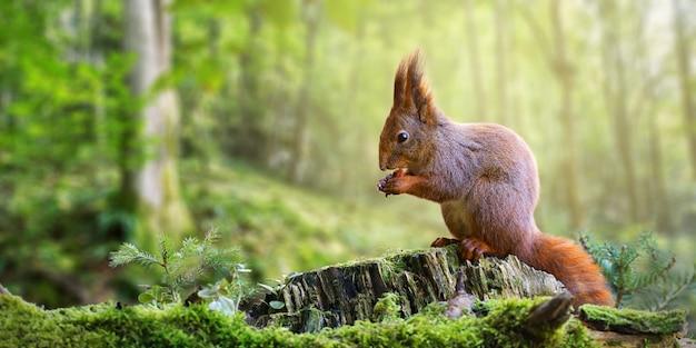 Rotes eichhörnchen, das eine nuss im grünen frühlingswald mit kopienraum isst.