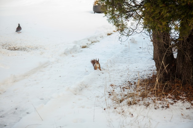 Rotes eichhörnchen, das nüsse im winter auf dem schnee füttert