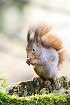 Rotes eichhörnchen, das nuss auf holz in der frühlingsnatur isst
