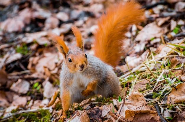 Rotes eichhörnchen im wald, der nüsse und eicheln isst