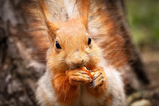 Rotes eichhörnchen knabbert eine nuss in einem kiefernwald. ein tier in einem natürlichen lebensraum. Premium Fotos