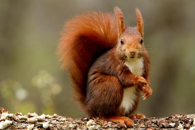 Rotes eichhörnchen, sciurus vulgaris, eichhörnchen, säugetiere, tiere