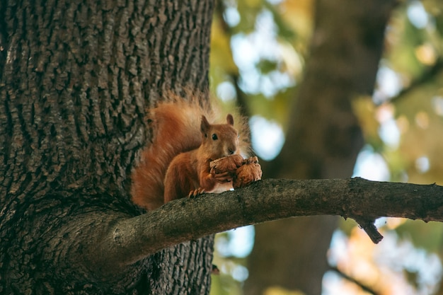 Rotes eichhörnchen sitzt auf einem ast und frisst eine nuss im herbstwald