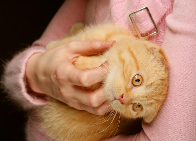 Rotes england-kätzchen mit hängeohren