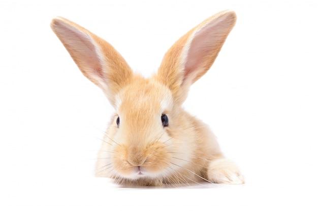 Rotes flaumiges kaninchen betrachtet das zeichen.