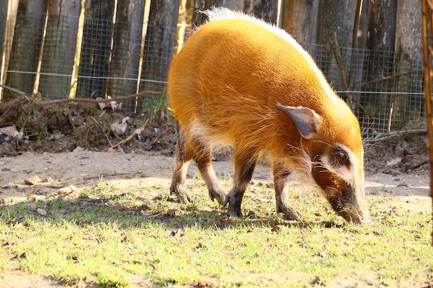 Rotes flussschwein, das auf dem boden geht, der im gras bedeckt ist