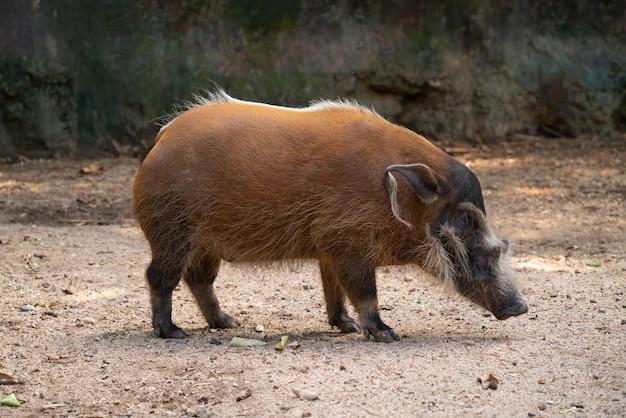 Rotes flussschwein (potamochoerus porcus)