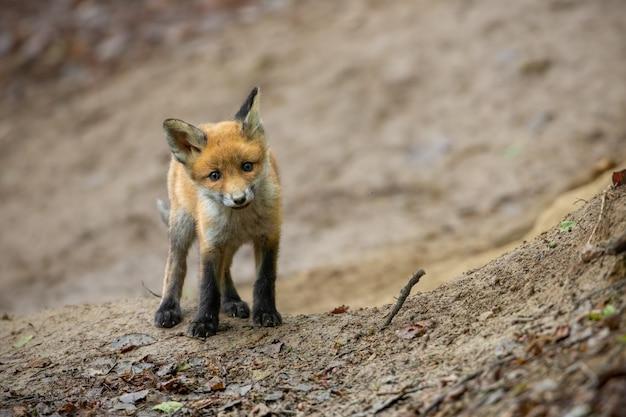 Rotes fuchsjunges, das nahe der höhle steht, die im hang eines frühlingswaldes versteckt ist.