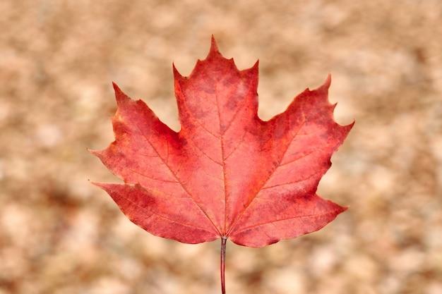 Rotes herbstblatt auf gelbem laubhintergrund. buntes gefallenes laub, jahreszeitwechselsymbol. entwerfen sie hintergrundmuster für den saisonalen gebrauch.