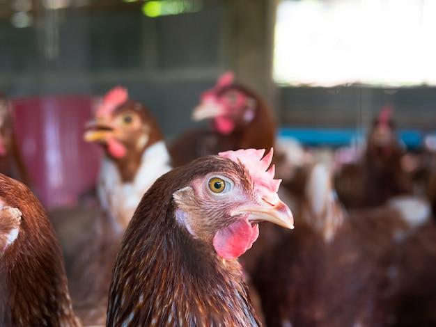 Rotes huhn in einem hühnerstall