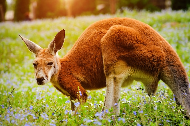 Rotes känguru, das auf grünem gras steht
