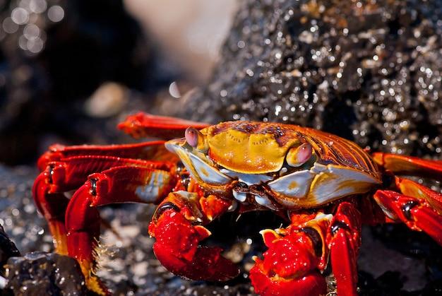 Rotes krabbenporträt, galapagos-inseln, ecuador.