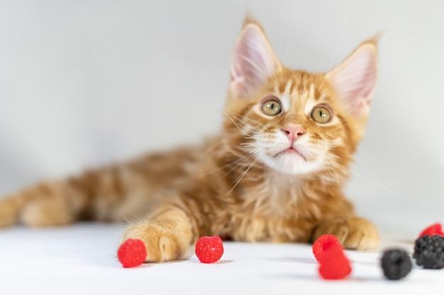 Rotes maine coon kätzchen. süße, größte und schönste katzenrasse. weißer hintergrund