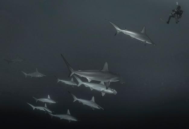 Rotes meer, afrika oktober 2015: großer hammerhai. schule der hammerhaie, die im roten meer schwimmen. haie in freier wildbahn. meereslebewesen unter wasser im blauen ozean. beobachtung tierwelt. tauchabenteuer