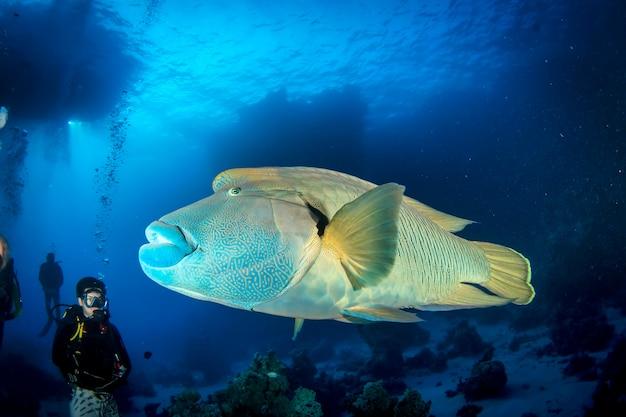 Rotes meer, afrika oktober 2015: napoleon fisch oder humphead wrasse fisch (cheilinus undulatus) unter wasser im ozean. meereslebewesen unter wasser im blauen ozean. beobachtung tierwelt. tauchabenteuer