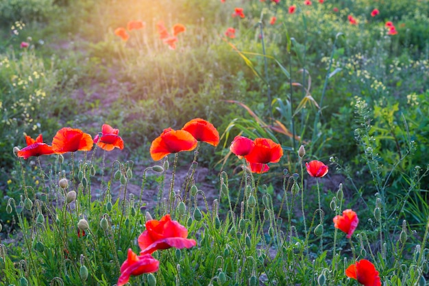 Rotes mohnblumenfeld, frühlingsjahreszeit
