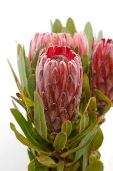 Rotes proteablumenbündel auf einem weißen getrennten hintergrund