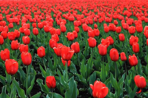 Rotes tulpenfeld große, rote blüten mit grünen blättern. hintergrund der blumen.