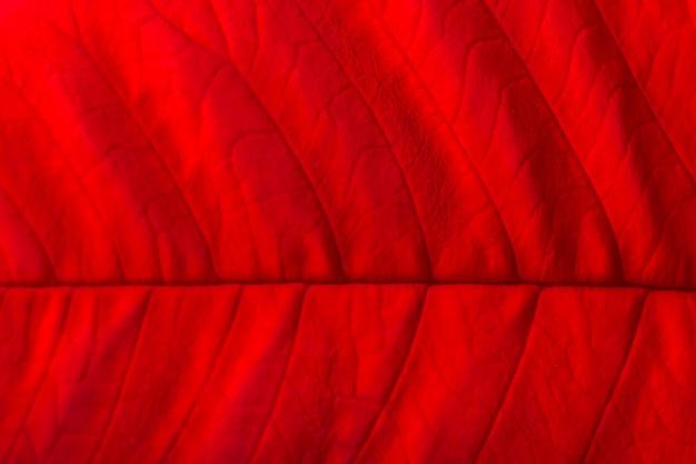 Rotes weihnachtssternblattmakro