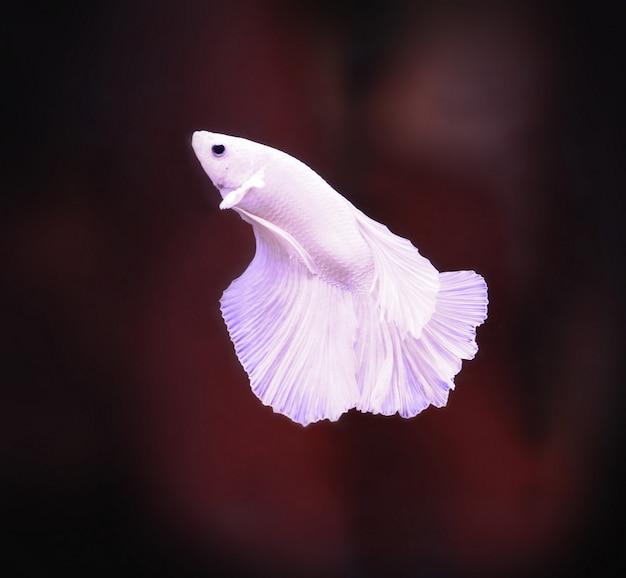Rotes weißes betafischendstückschwimmen im wasserbehälter