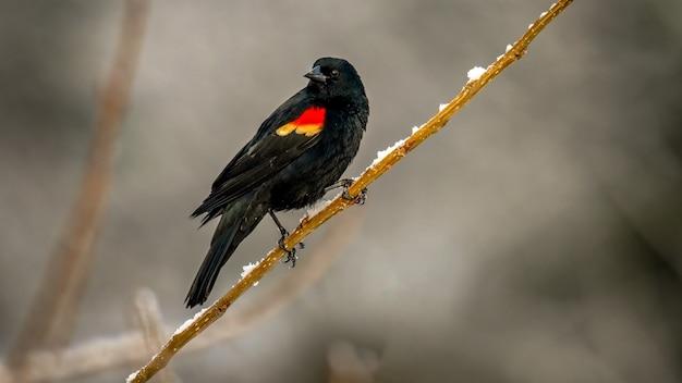 Rotflügelige amsel