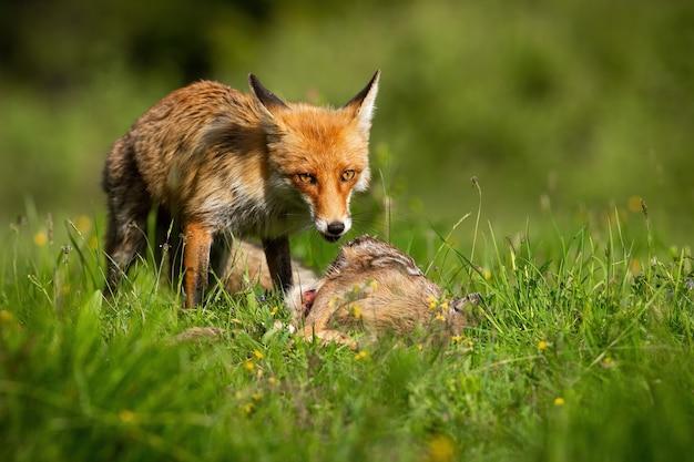 Rotfuchs, der auf lebhafter wiese im sommersonnenschein füttert