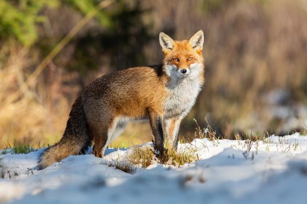 Rotfuchs, der auf schneebedecktem feld in der winternatur beobachtet.
