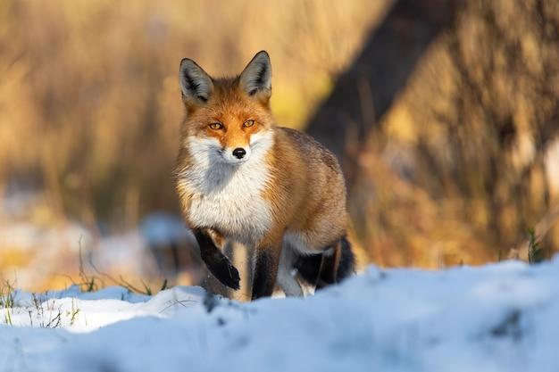 Rotfuchs, der auf schneebedeckter wiese in der winterzeitnatur steht