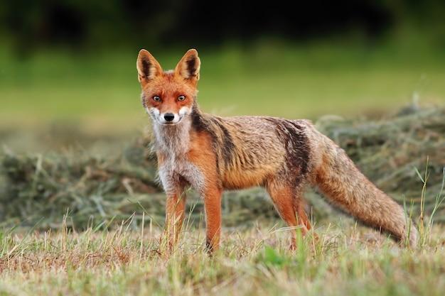 Rotfuchs, der im herbstwald wandert und jagt
