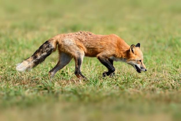 Rotfuchs in der natur (vulpes vulpes)