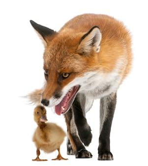 Rotfuchs spielt mit einem einheimischen dukling
