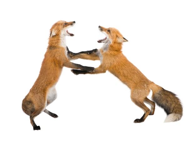 Rotfuchs, vulpes vulpes, isoliert auf weiß