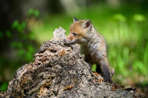 Rotfuchs, vulpes vulpes, kleines junges jungtier im wald auf stumpf. niedliche kleine wilde raubtiere in natürlicher umgebung