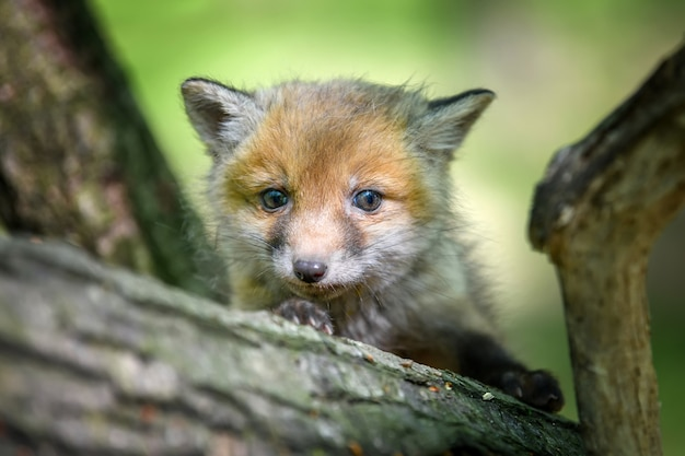 Rotfuchs, vulpes vulpes, kleines junges jungtier im wald auf zweig. niedliche kleine wilde raubtiere in natürlicher umgebung