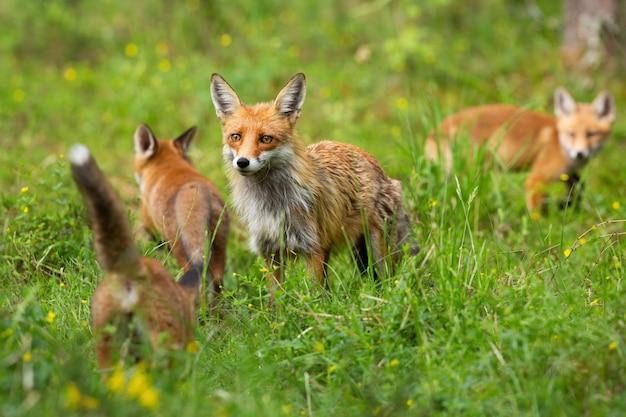 Rotfuchsfamilie mit mutter und drei jungen, die auf einer lichtung jagen und spielen