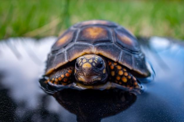 Rotfußschildkröte (chelonoidis carbonarius)