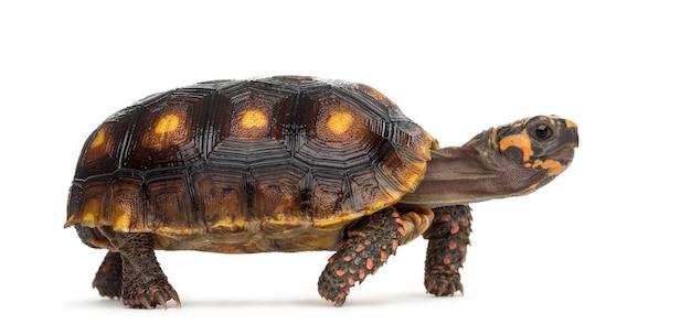 Rotfußschildkröten (1,5 jahre alt), chelonoidis carbonaria, vor einer weißen fläche