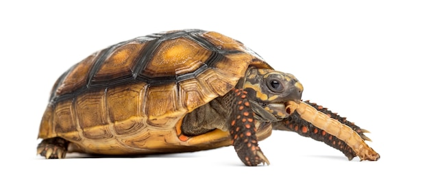 Rotfußschildkröten (2 jahre alt), chelonoidis carbonaria, die vor einer weißen oberfläche einen wurm fressen