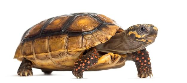 Rotfußschildkröten (2 jahre alt), chelonoidis carbonaria, vor einer weißen fläche