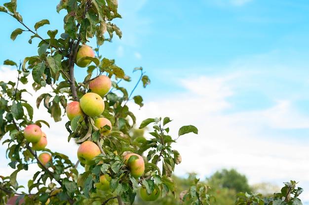 Rotgrüne reife fruchtäpfel auf einem zweig eines apfelbaums im garten am himmel
