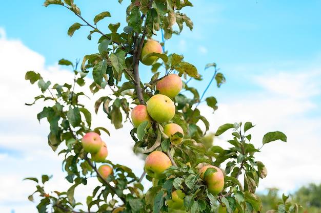 Rotgrüne reife fruchtäpfel auf einem zweig eines apfelbaums im garten auf himmelhintergrund