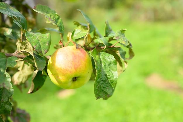 Rotgrüner reifer fruchtapfel auf einem zweig eines apfelbaums im garten