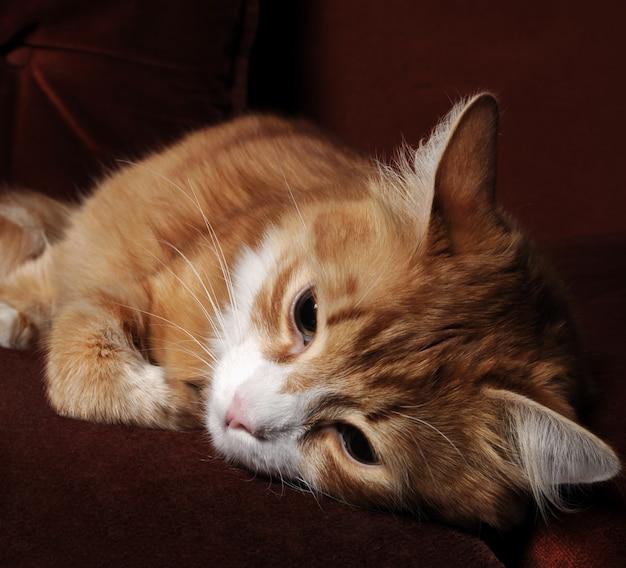 Rothaarige katze
