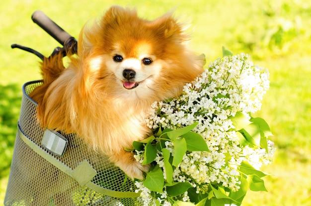 Rothaariger ingwer pommerscher spitzhund mit strauß weißer flieder im fahrradkorb