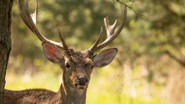 Rothirsch, erwachsenes männchen mit großen gestreiften hörnern. wird für die innendekoration verwendet. dieses tier ist auch wegen seines fells und seines fleisches wertvoll.