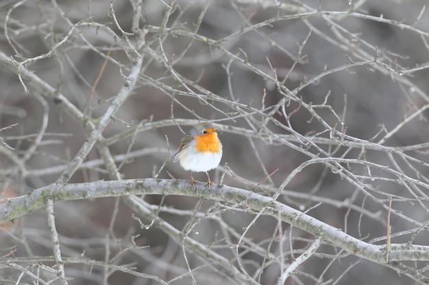 Rotkehlchen (erithacus rubecula) in schönem, weichem sonnenlicht. die erkennungszeichen des vogels und die struktur der federn sind deutlich sichtbar.