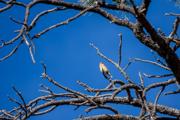 Rotkreuzschnabel (loxia curvirostra) im bryce canyon national park