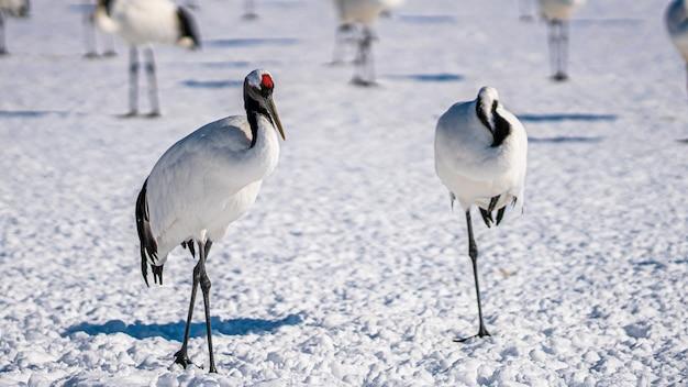 Rotkronenkranich im winter