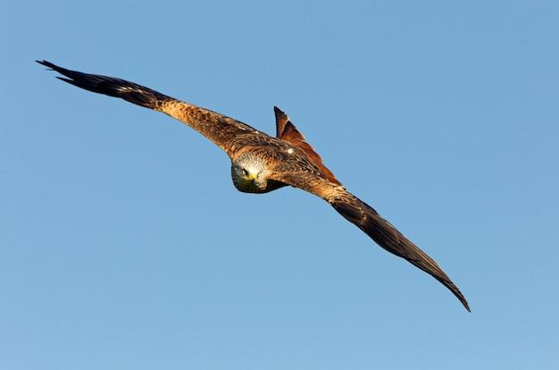 Rotmilan fliegen, milvus milvus, falke, drachen